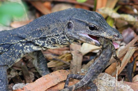 lizard_eating_lizard